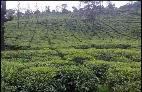 MLA support coffee plantation owners