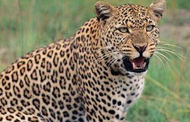 Leopard attack on young boy